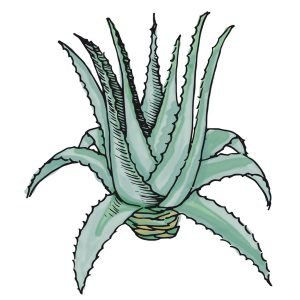 Aloe Vera ingredientes Dehesia Cosmética natural